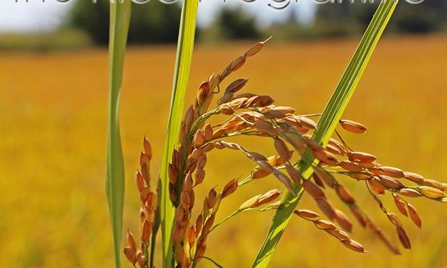 The Rice Programme –  COMPO EXPERT Hellas S.A.
